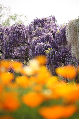 Wisteria with poppy