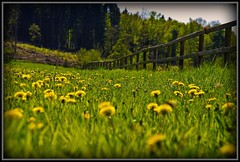 Maiblumen mit Zaun - flowers with fence (NPP-publik_oberberg) Tags: wood flower tree green art nature yellow forest fence spring creative cologne oberberg themoulinrouge germa maiblume anawesomeshot theunforgettablepictures goldstaraward