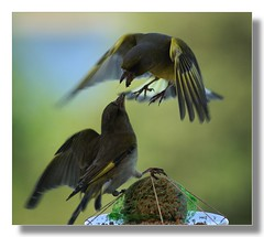 DON'T YOU EVER ARGUE ABOUT WHO SHALL EAT FIRST . . . . . . ( goraiapick  - busy -) Tags: bird nature birds birdfeeder soe greenfinch hpm tq cubism anawesomeshot avianexcellence diamondclassphotographer ysplix goldstaraward
