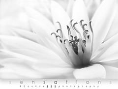 white is..... (RCastro) Tags: searchthebest onwhite blueribbonwinner flickrsbest totalphoto impressedbeauty superaplus aplusphoto theunforgettablepictures multimegashot photoexel