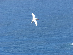 Tropic Bird (sbittinger) Tags: lordhoweisland