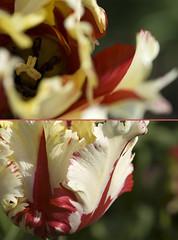 In out (nathaliehupin) Tags: red white flower fleur rouge nikon tulip paysbas blanc keukenhof tulipe nikond200 photographebruxelles nathaliehupin photographeluxembourg photographehainaut photographenamur photographeliege photographemons photographebelgique wwwnathaliehupinbe wwwnathaliehupingraphismebe