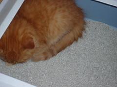 P1000114 (Kyuubi&Azrael) Tags: sleeping orange cats cute male mackerel tabby kittens kitties shorthair napping stripped playful azrael bonded kyuubi meduimhair