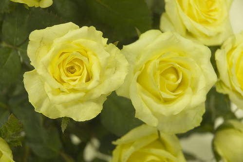 The Meaning Of Yellow Roses Friendship And Well Wishes Growing