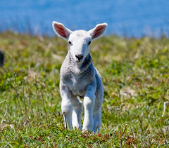 Lamb (LollyKnit) Tags: novascotia sheep lamb