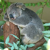 Koala (oo Felix oo) Tags: animals nikon australia animales d80 anawesomeshot felmar felmar73