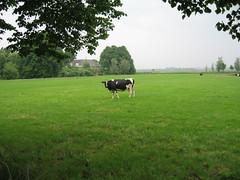 Koe 1, 2 en 3 op gezoek