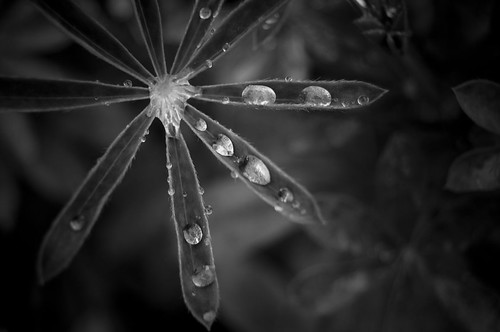 Lupin with water droplets