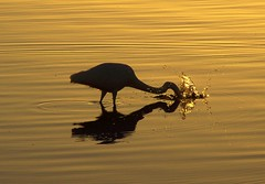 Timing...... (pominoz) Tags: reflection bird heron silhouette newcastle fishing grandmother belmont nsw thumbsup splash reflexions lakemacquarie bigmomma abigfave platinumphoto a3b yourockwinner