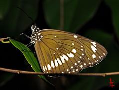 Le conquerant (MARCO-NC) Tags: macro nature jardin insecte ysplix
