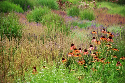 Orange and Purple coneflowers in a field