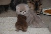 Roosevelt & Harry (Betsy Cole Photography) Tags: red cats white cute face cat hair fur persian eyes kitten doll long moments sweet chocolate smoke tabby extreme kitty fluffy balls kittens lilac precious copper cameo breed pea smushy breeder cattery