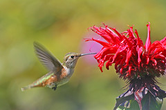 Rufous Hummingbird and Bee Balm (janruss) Tags: bird hummingbird searchthebest hummer avian birdwatcher rufoushummingbird naturesfinest blueribbonwinner mouseion lifeasiseeit beautysecret supershot inspiredbylove topshots bej specanimal wingedwonders mywinners abigfave platinumphoto colorphotoaward impressedbeauty aplusphoto avianexcellence photosandcalendar citrit envyofflickr theperfectphotographer goldstaraward worldwidelandscapes excellentsflowers natureselegantshots mimamorflowers inspiredbyhim fantasticwildlife flickrflorescloseupmacros colorphotoawardbronze colorphotoawardsilver ubej panoramafotografico thewonderfulworldofbirds micartttt perfectactionshot thebestofmimamorsgroups janruss janinerussell newgoldenseal theoriginalgoldseal flickrportal