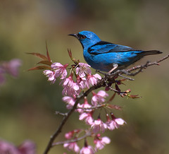 SA-AZUL macho (Dacnis cayana) (Dario Sanches) Tags: blue parque bird nature animal azul brasil natureza alberto florestal pajaro paulo sao macho sai horto bluedacnis cerejeira estadual lofgren dacniscayana cayana dacnis dariosanches dariosan