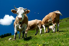 Swiss cows at Grindelwald First (jerry_lake) Tags: switzerland cows bluesky grindelwald bort polariser grindelwaldfirst nikond300