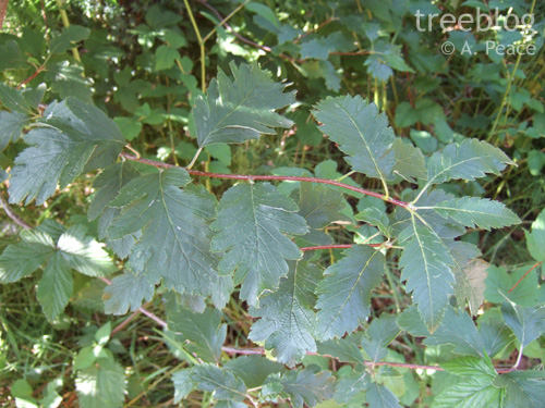 Sorbus arranensis leaves