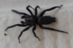 Vicious Spider