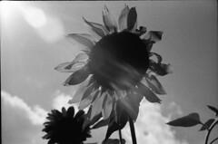 Sun flare on a Sunflower (akkleis) Tags: blackandwhite film sunflower dcist flickrmeetup sunflare tararawinery