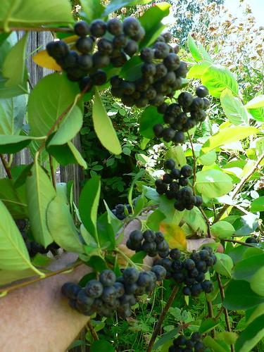 Practical Uses of Aronia Berries