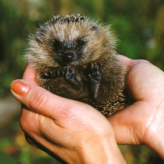 Everybody loves Mecki ... the little Hedgehog in my Hand (Batikart) Tags: life autumn red wild baby brown cute green slr rot eye fall feet nature animal closeup fauna germany geotagged deutschland foot spiky europa europe hand wildlife herbst natur olympus gb hedgehog grn braun 2008 500faves auge fsse nase tier noose fuss hnde a610 stachelig igel babyanimal niedersachsen lowersaxony damme nabu fingernagel 100faves erinaceuseuropaeus 200faves viewonblack 300faves tierbaby 400faves 201112 batikart gettygermanyq4