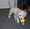 Learning to fetch (Graustark) Tags: dog pet white puppy tennisball dinky ratapoo ratoodle ratterrierpoodlemix