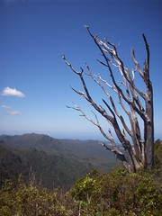 Stripped tree, Pinnacles (- MattW -) Tags: new tree travelling landscape zealand backpacking northisland kiwi coromandel windblown pinnacles coromandelpeninsula
