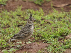 Crested Lark.. ?? (K. Shreesh) Tags: india birds soe naturesfinest crestedlark blueribbonwinner supershot bhor mywinners eos400d ef70200f4lis avianexcellence natureselegantshots pptadka20080903