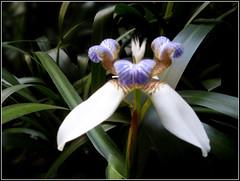 (Martha MGR) Tags: nature natureza flor vernissage flres mmgr marthamgr reservaespecial 4msphotographicdream 3msroyalflowers 2msroyalstation marthamariagrabnerraymundo marthamgraymundo