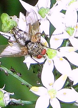 Close up of fly on allium