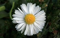 alone and beautiful(torghabe gathering) (yashar_z) Tags: white flower nature iran khorasan   mashad yashar torghabe   zafari  ghathering  chalidare