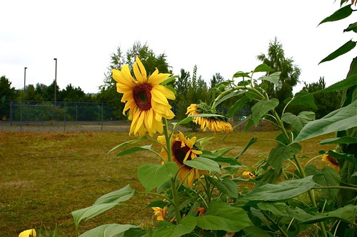 Sunflower and chain link fence