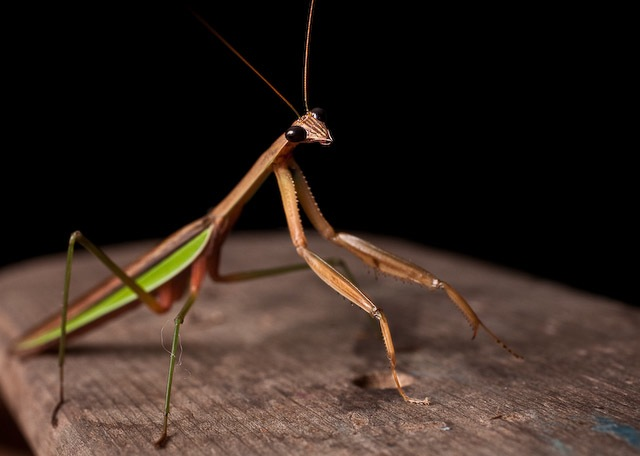 black-eyed mantis