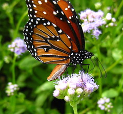 """She flew by to say, """"Hi""""!_8554 (jaciii (off&on)) Tags: flower canon butterfy diamondclassphotographer flickrdiamond eperke natureislovely sd1100is canonsd1100is saariysqualitypicturesgallery defendersnaturemacrosandcloseups 50favesand50comments"""