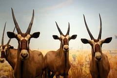 The Stranger (DP|Photography) Tags: reindeer stranger deer antelope soe oryx americanmuseumofnaturalhistory oryxgazella supershot goldstaraward debashispradhan dpphotography dp|photography