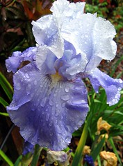 Bearded Iris in the Rain. (Mary Faith.) Tags: blue iris summer sun plant flower colour macro sexy art nature rain bulb garden design spring soft feminine curves hobby bloom raindrops mauve delicate waterdrops bearded frills wonderfulworldofflowers auniverseofflowers