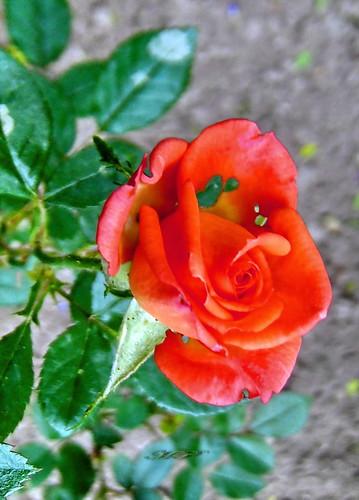 Une rose moi pour toi. Seulement pour toi mais que je montre au Monde avec une joie indescriptible!