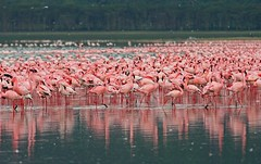 Lesser and Greater Flamingos at Lake Nakuru