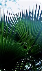 entre palmeras (Clauminara) Tags: verde green mxico mexico mexicocity df plantas palmeras universidad autonoma metropolitana ciudaddemexico xochimilco distritofederal uam mejico mjico uamx universidadautnomametropolitanaunidadxochimilco