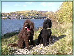 fall greetings (darleen2902) Tags: vienna wien autumn brown black fall poodle chocolat donau standardpoodle donauinsel misura darleen impressedbeauty goldenheartaward