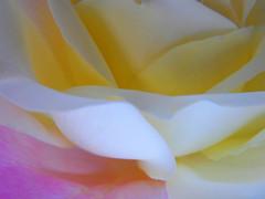 softness (✿ Graça Vargas ✿) Tags: flower rose olympus explore excellence interestingness254 i500 graçavargas abstractflowerpart sp560uz ©2008graçavargasallrightsreserved 63527040610