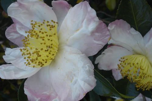 gardenias.JPG