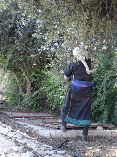Woman harvesting olives