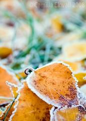 October (-Camilla) Tags: morning autumn orange ice nature closeup leaf frost dof sweden bokeh natur brunnsviken nikond80 nikkor18135mm enbrabild