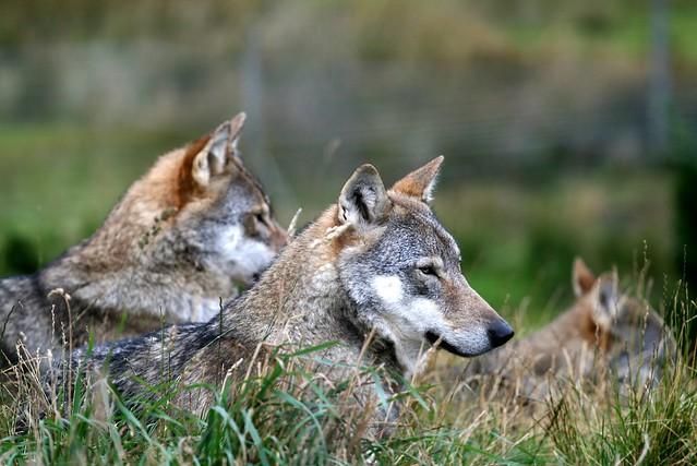 草原の狼の画像