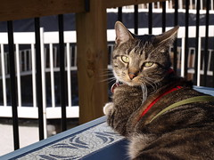 Enjoying the Last of the Warm Weather (Tabby Fan) Tags: 510fav hudson catmoments catnipaddicts