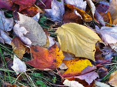Fallen Leaves (Michael Pancier Photography) Tags: autumn maine mountdesertisland fineartphotography naturephotography seor acadianationalpark naturephotographer floridaphotographer michaelpancier michaelpancierphotography wwwmichaelpancierphotographycom seorcohiba