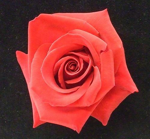 Couleurs Et Signification De La Rose Nombres Et Message Porte