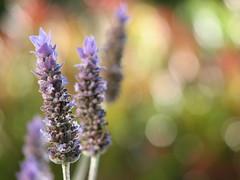 TGIF! (Mary Trebilco) Tags: flowers flower macro nature canon garden purple bokeh lavender powershot explore tasmania mauve tgif straightfromthecamera sooc powershots3is canonpowershots3is mytassiegarden ehbd