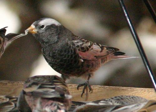 Black Rosy-Finch (Leucosticte atrata)