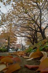 Autumn way to Aobadai station (ronsantash) Tags: autumn japan 28mm sigma kanagawa foveon aobadai dp1